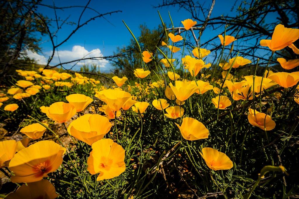 Golden Poppies Bloom