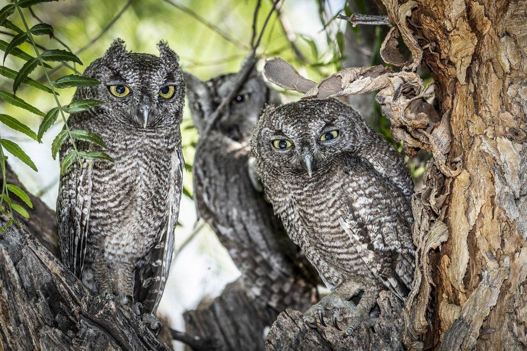 A Trio of Western Screech Owls