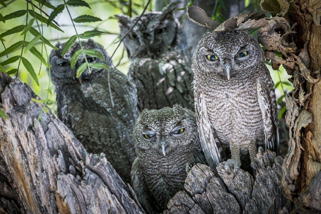 A Family of Western Screech Owls