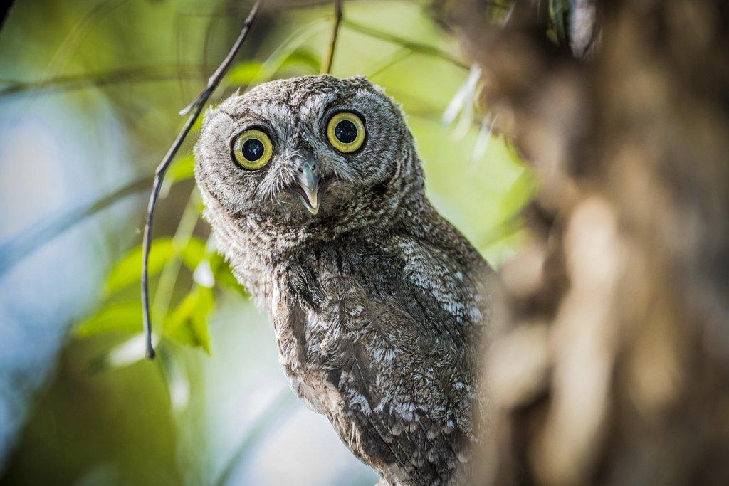Young Screech Owl