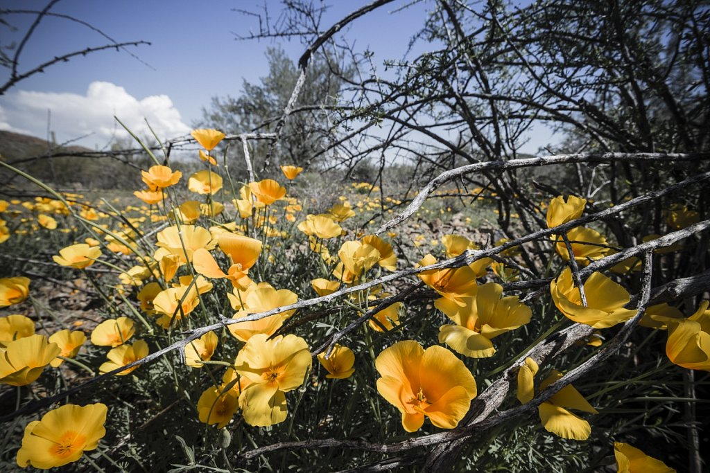 Blooming Mexican Poppies