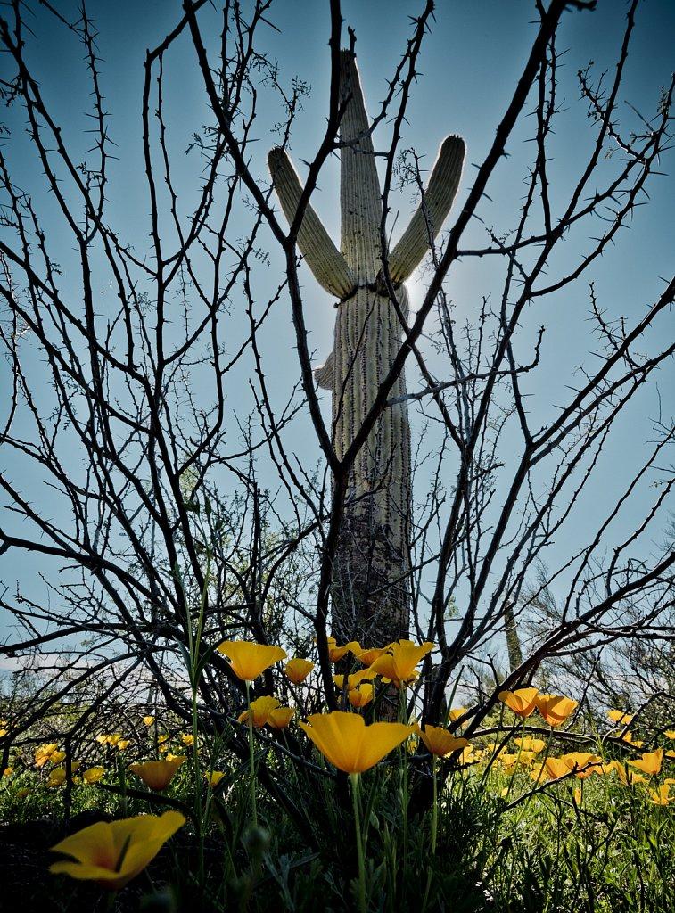 PicachoPeak-wildflowers-0319-253.jpg