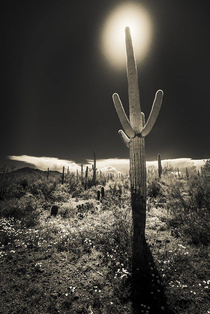 Sepia Saguaro