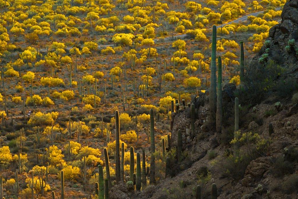 Blooming Palo Verdes