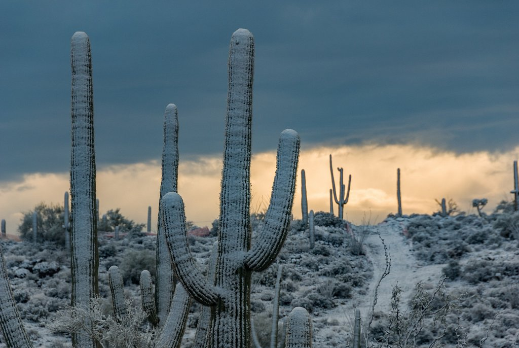 Saguaro Cactus in the Snow