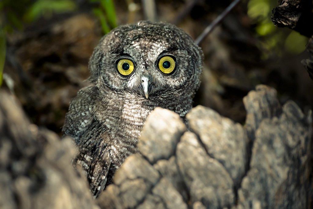 Western-Screech-Owls-0619-111.jpg