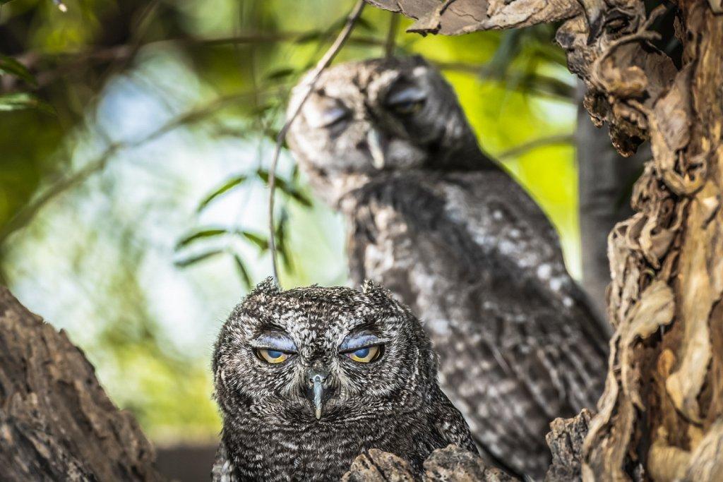 Western-Screech-Owls-0619-155.jpg