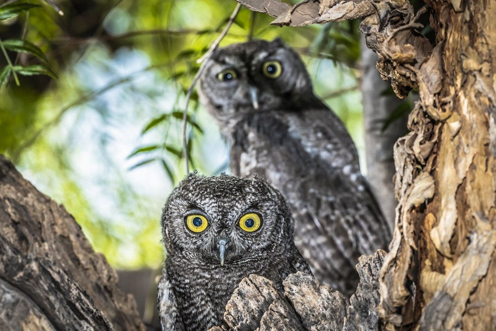 Pair of Western Screech Owls