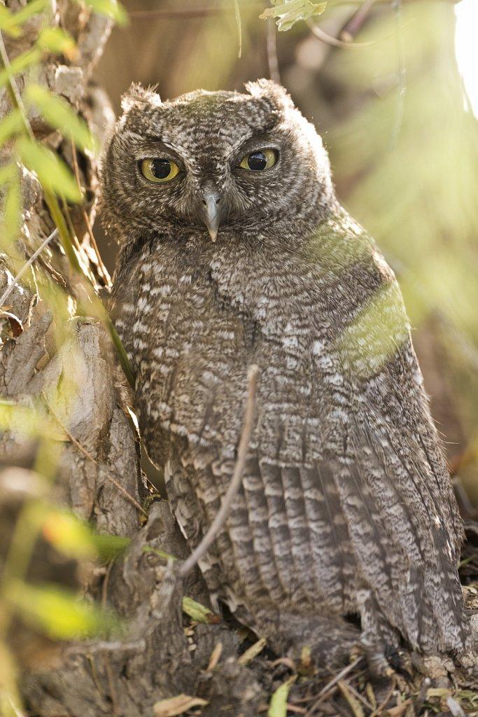 Western-Screech-Owls-0619-266.jpg