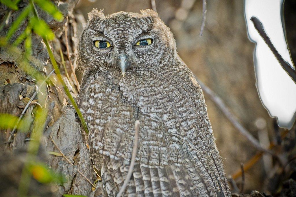 Western-Screech-Owls-0619-272.jpg